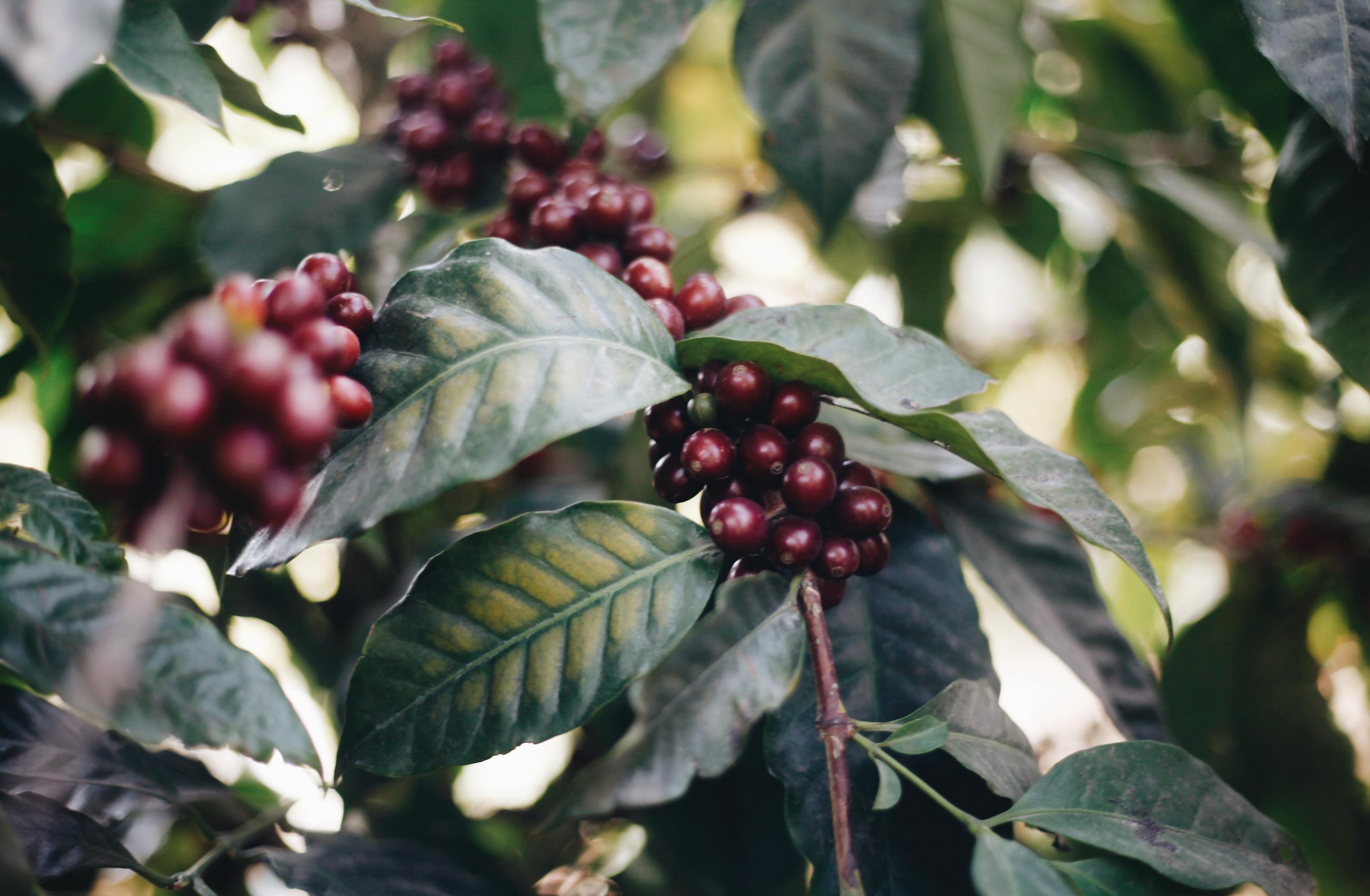 Coffee cherry growing on a coffee bush